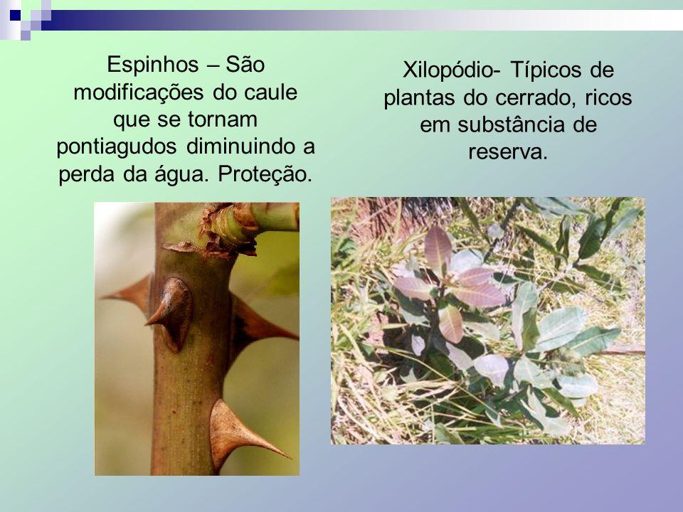 Espinhos – São modificações do caule que se tornam pontiagudos diminuindo a perda da água. Proteção. Xilopódio- Típicos de plantas do cerrado, ricos e