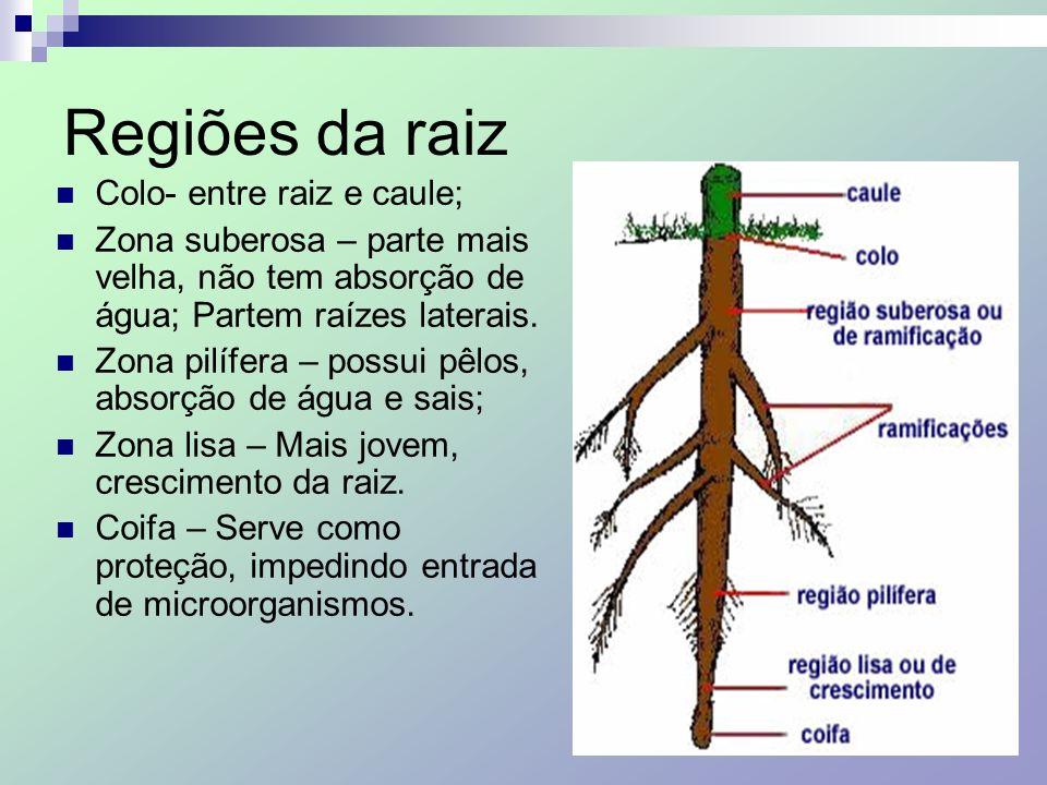Regiões da raiz Colo- entre raiz e caule; Zona suberosa – parte mais velha, não tem absorção de água; Partem raízes laterais. Zona pilífera – possui p
