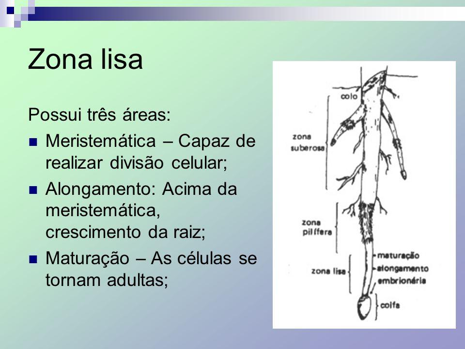 Zona lisa Possui três áreas: Meristemática – Capaz de realizar divisão celular; Alongamento: Acima da meristemática, crescimento da raiz; Maturação –
