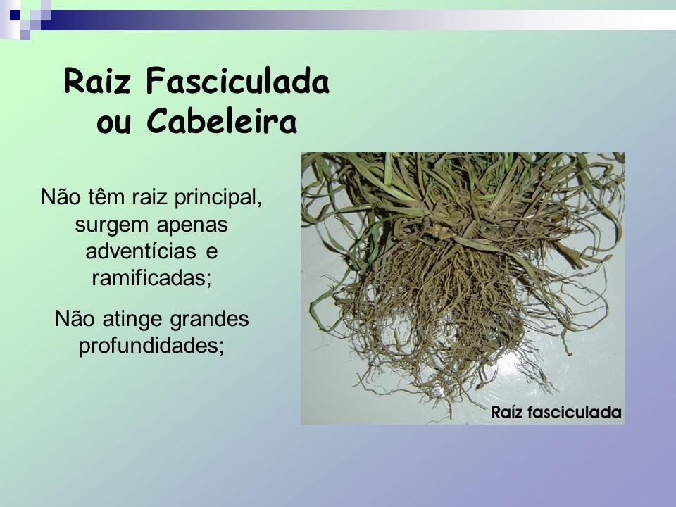 Raiz Tuberosa Armazenam substância nutritiva; Raízes aéreas São raízes que se desenvolvem acima do solo, são raízes adventícias.