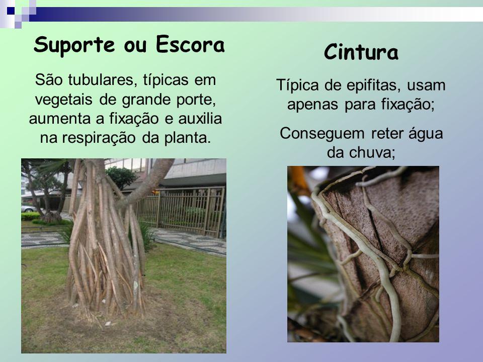 Suporte ou Escora São tubulares, típicas em vegetais de grande porte, aumenta a fixação e auxilia na respiração da planta. Cintura Típica de epifitas,