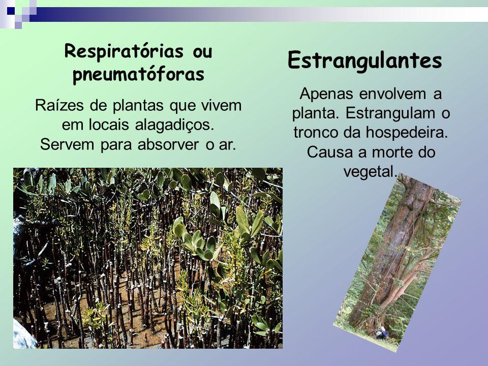 Respiratórias ou pneumatóforas Raízes de plantas que vivem em locais alagadiços. Servem para absorver o ar. Estrangulantes Apenas envolvem a planta. E