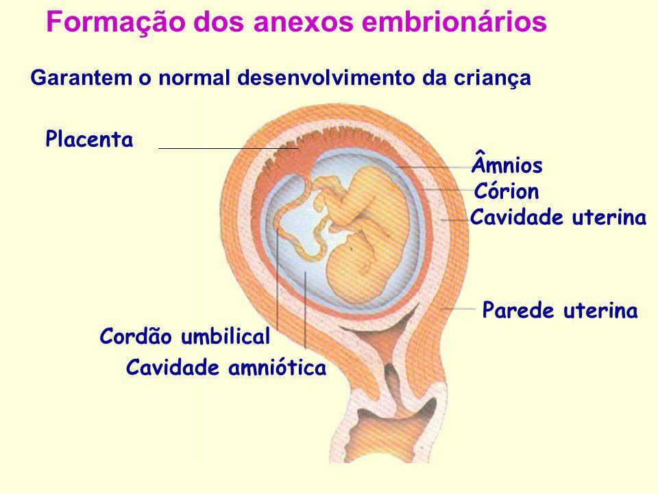 Formação dos anexos embrionários Garantem o normal desenvolvimento da criança Âmnios Cavidade amniótica Córion Cavidade uterina Parede uterina Cordão