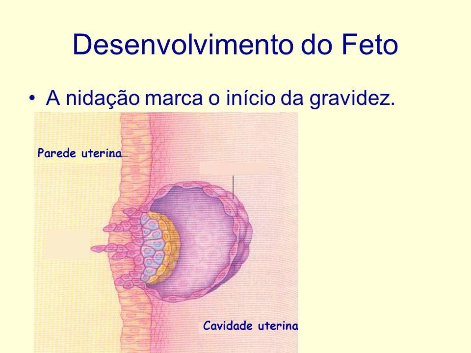 Desenvolvimento do Feto A nidação marca o início da gravidez. Parede uterina Cavidade uterina