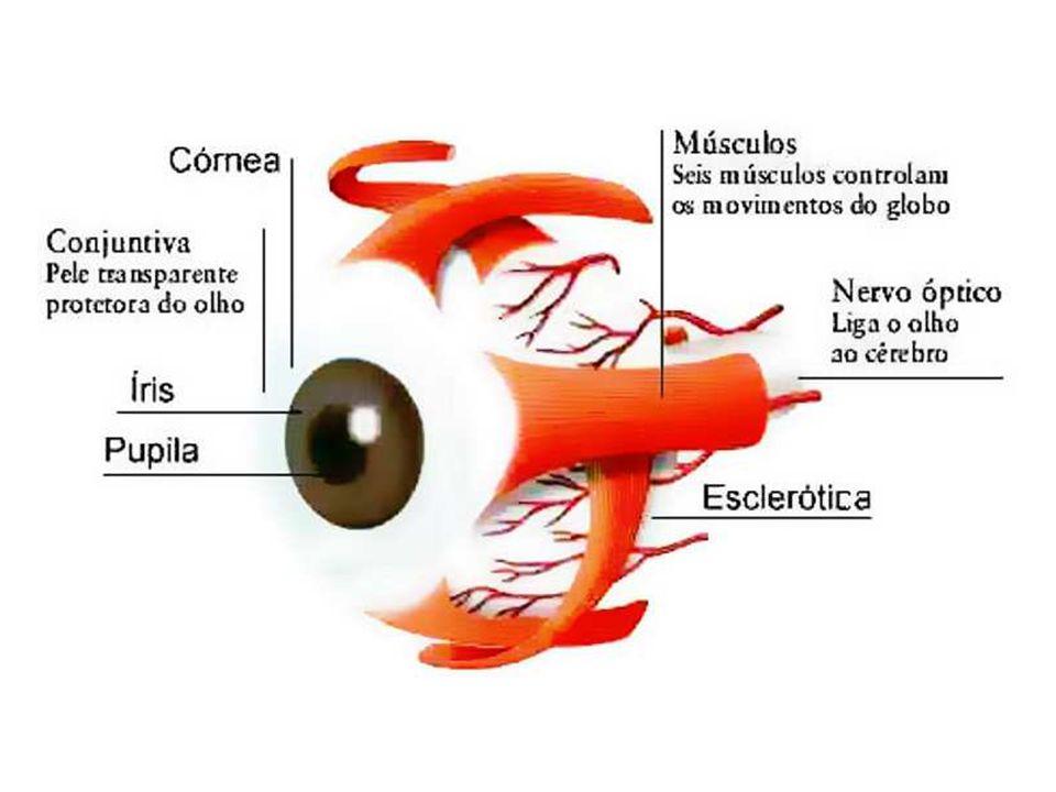 Retina Membrana mais interna, situada abaixo da coróide, constituída por células fotossensíveis (cones e bastonetes) Cones: concentrados na fóvea, menos sensíveis, visão em cores Bastonetes: distribuem-se pela periferia da retina, mais sensíveis, visão em preto e branco