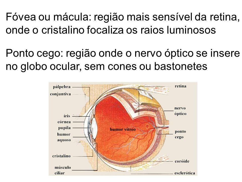Fóvea ou mácula: região mais sensível da retina, onde o cristalino focaliza os raios luminosos Ponto cego: região onde o nervo óptico se insere no glo