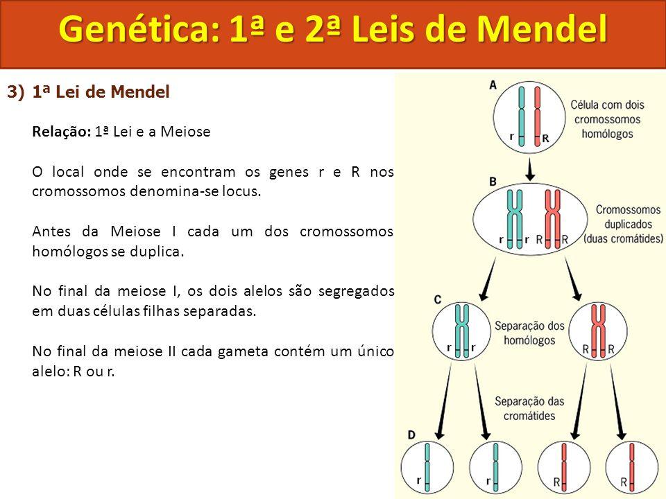 3)1ª Lei de Mendel Relação: 1ª Lei e a Meiose O local onde se encontram os genes r e R nos cromossomos denomina-se locus. Antes da Meiose I cada um do