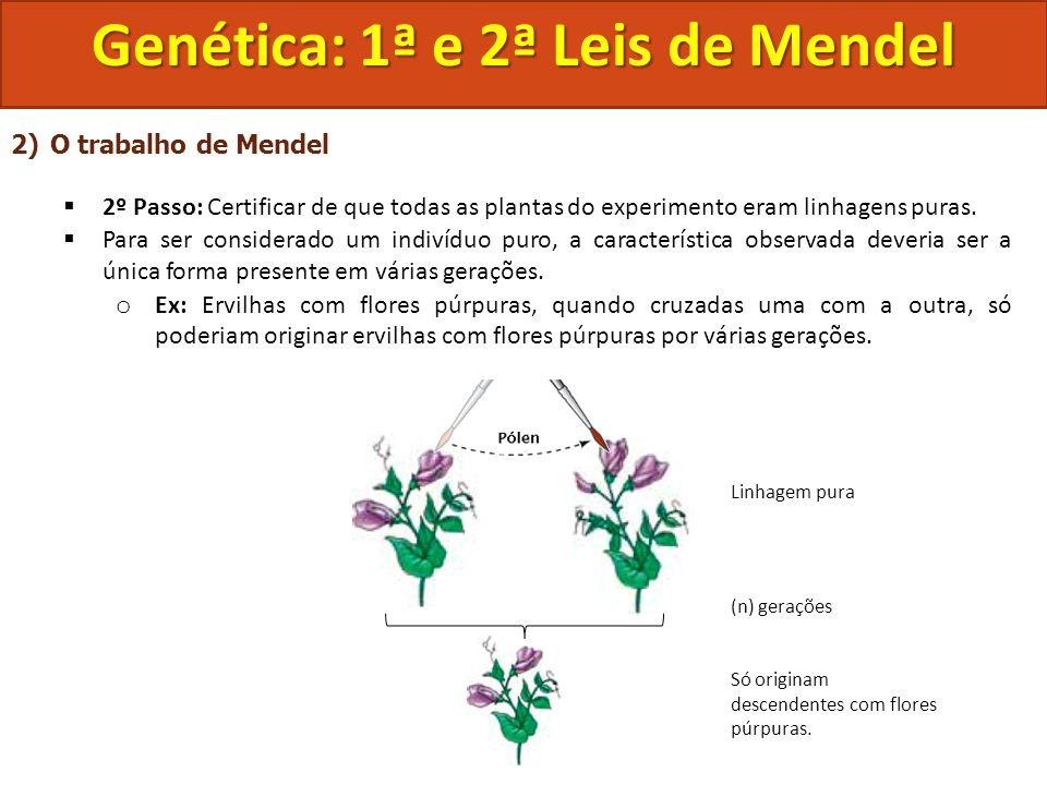 2)O trabalho de Mendel 2º Passo: Certificar de que todas as plantas do experimento eram linhagens puras. Para ser considerado um indivíduo puro, a car