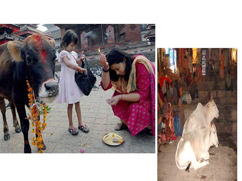 Veneração Os hindus veneram a vaca porque são símbolo de tudo o que é vivo; Os animais perambulam pelas ruas, derrubam as bancas no mercado, invadem jardins particulares, defecam na calçada e interrompem o trânsito.