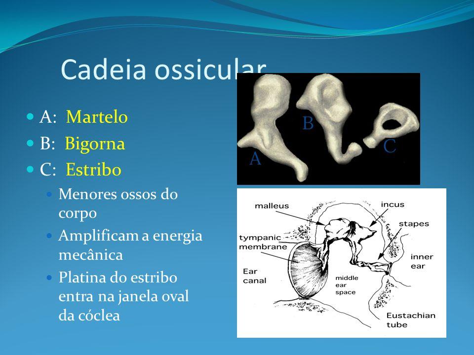 Cadeia ossicular A: Martelo B: Bigorna C: Estribo Menores ossos do corpo Amplificam a energia mecânica Platina do estribo entra na janela oval da cócl