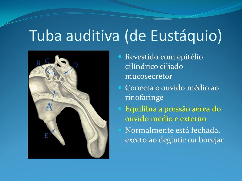 Tuba auditiva (de Eustáquio) Revestido com epitélio cilíndrico ciliado mucosecretor Conecta o ouvido médio ao rinofaringe Equilibra a pressão aérea do