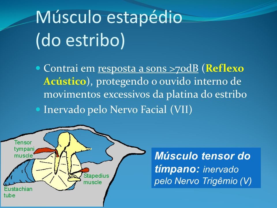 Músculo estapédio (do estribo) Contrai em resposta a sons >70dB (Reflexo Acústico), protegendo o ouvido interno de movimentos excessivos da platina do
