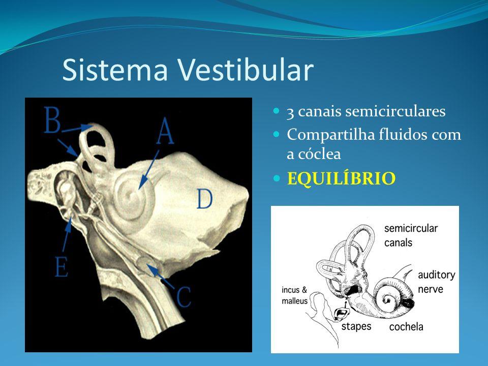 Sistema Vestibular 3 canais semicirculares Compartilha fluidos com a cóclea EQUILÍBRIO