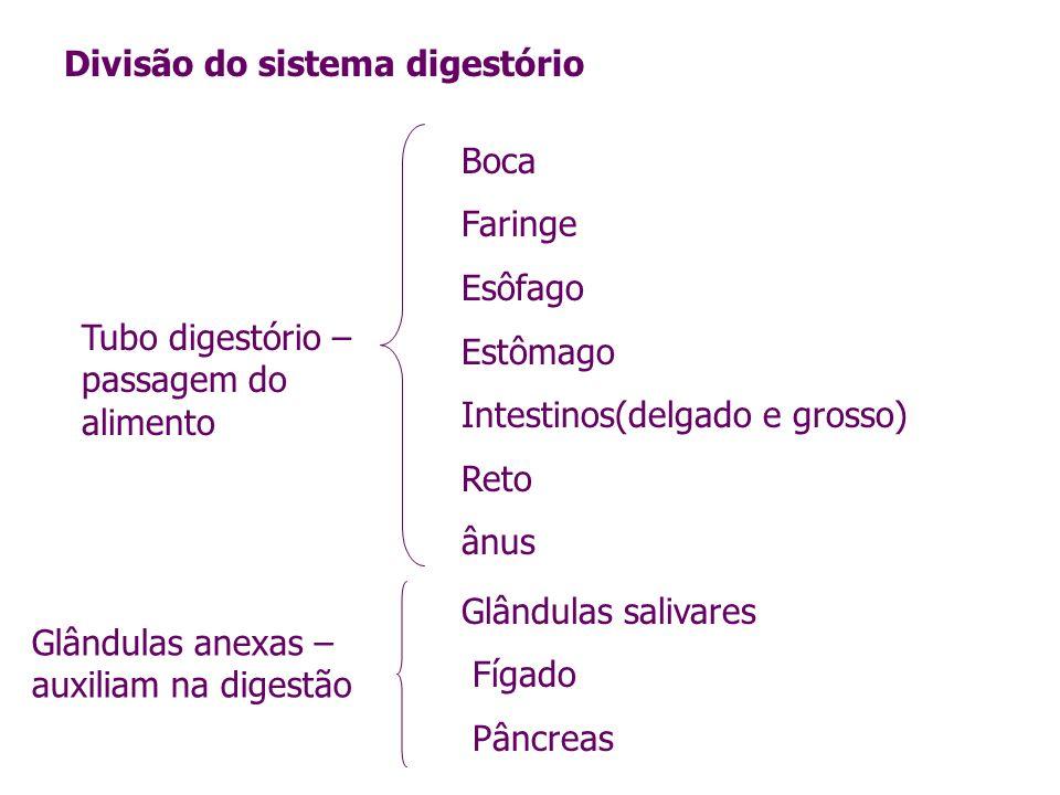 Divisão do sistema digestório Tubo digestório – passagem do alimento Glândulas anexas – auxiliam na digestão Boca Faringe Esôfago Estômago Intestinos(