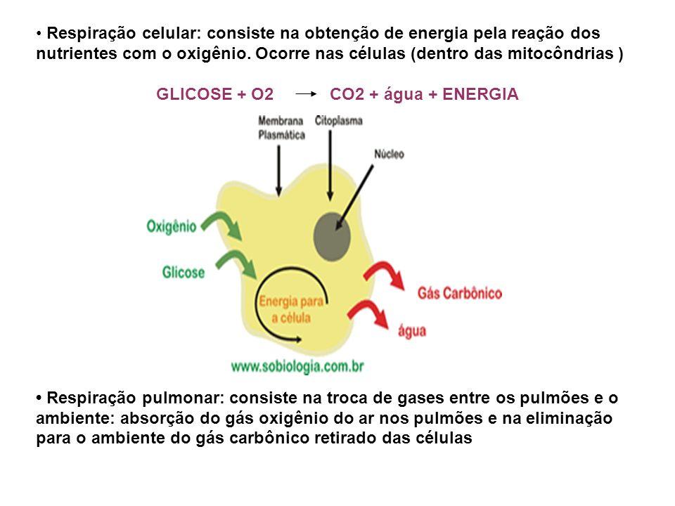 Respiração celular: consiste na obtenção de energia pela reação dos nutrientes com o oxigênio. Ocorre nas células (dentro das mitocôndrias ) GLICOSE +