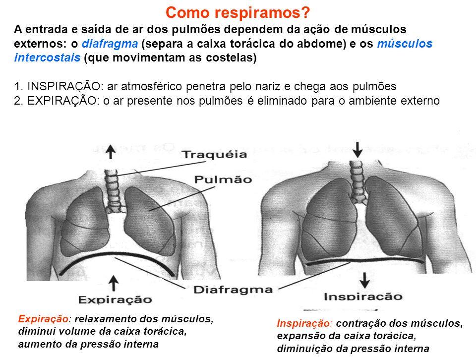 Como respiramos? A entrada e saída de ar dos pulmões dependem da ação de músculos externos: o diafragma (separa a caixa torácica do abdome) e os múscu