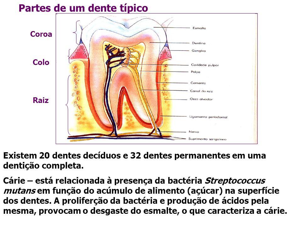 Partes de um dente típico Existem 20 dentes decíduos e 32 dentes permanentes em uma dentição completa. Cárie – está relacionada à presença da bactéria