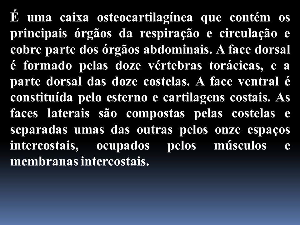 É uma caixa osteocartilagínea que contém os principais órgãos da respiração e circulação e cobre parte dos órgãos abdominais. A face dorsal é formado
