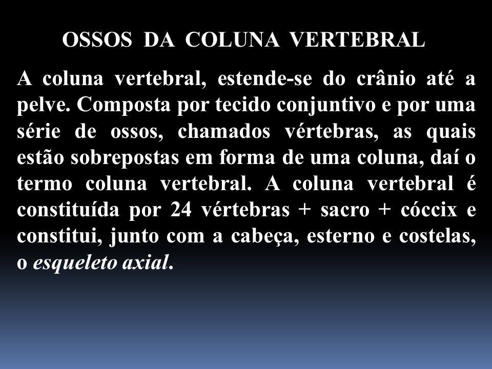 OSSOS DA COLUNA VERTEBRAL A coluna vertebral, estende-se do crânio até a pelve. Composta por tecido conjuntivo e por uma série de ossos, chamados vért
