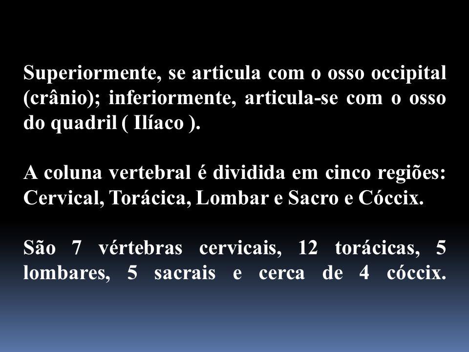 Superiormente, se articula com o osso occipital (crânio); inferiormente, articula-se com o osso do quadril ( Ilíaco ). A coluna vertebral é dividida e