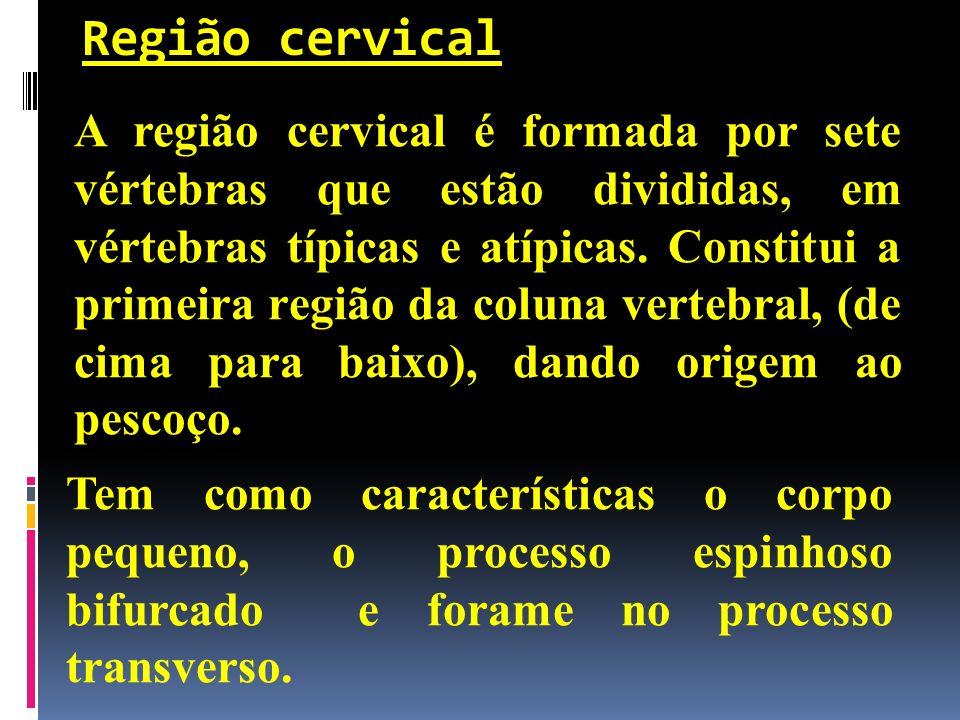 Região cervical A região cervical é formada por sete vértebras que estão divididas, em vértebras típicas e atípicas. Constitui a primeira região da co