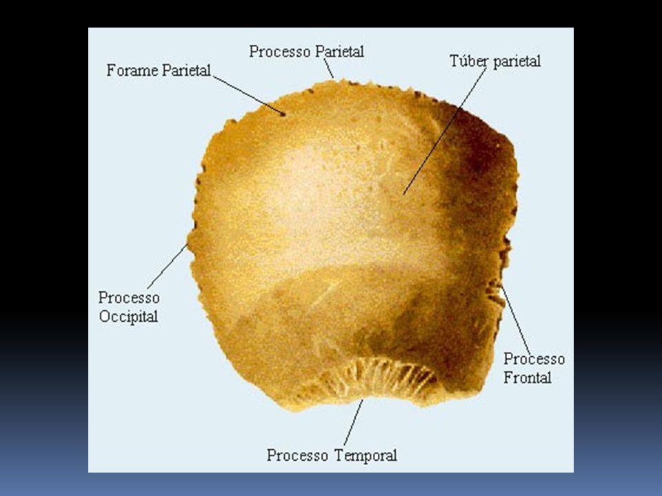 Osso sacro É considerado como um único osso com cinco vértebras fundidas.