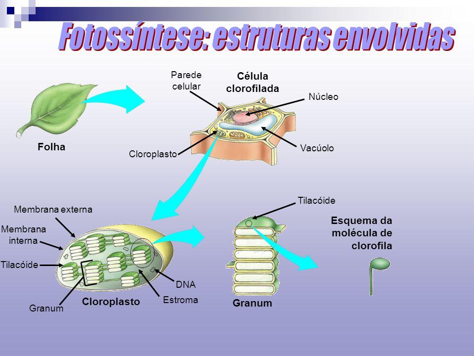 Célula clorofilada Esquema da molécula de clorofila Folha Granum Parede celular Cloroplasto Membrana externa Membrana interna Tilacóide Granum Estroma