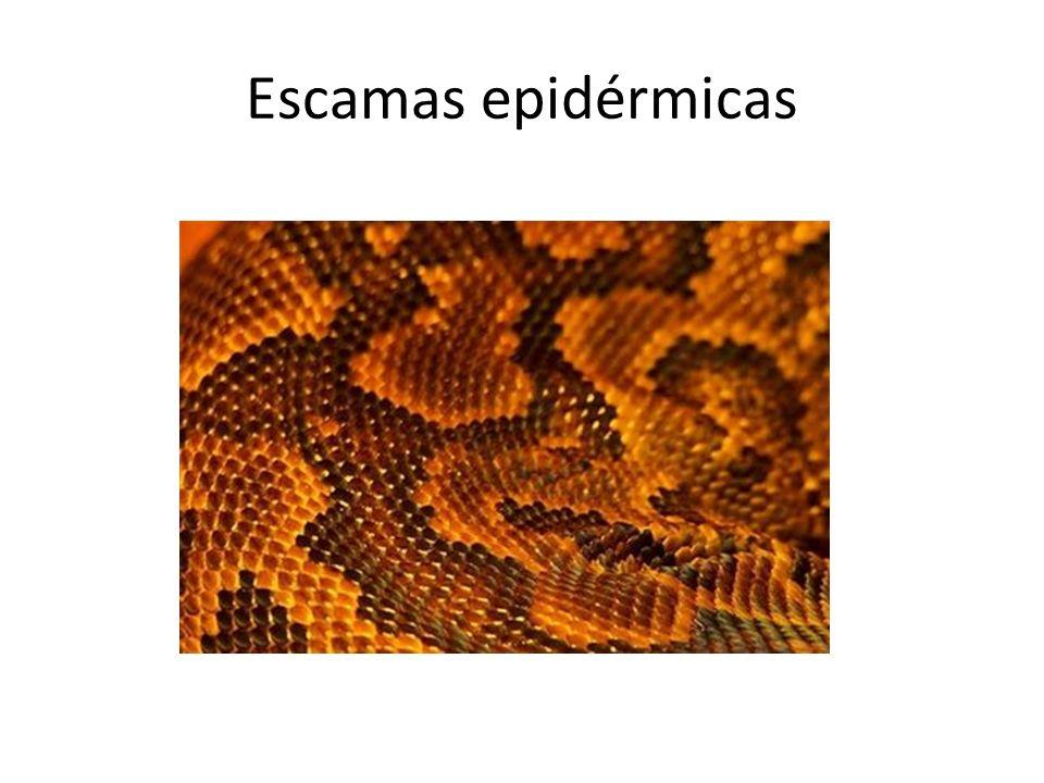 Escamas epidérmicas