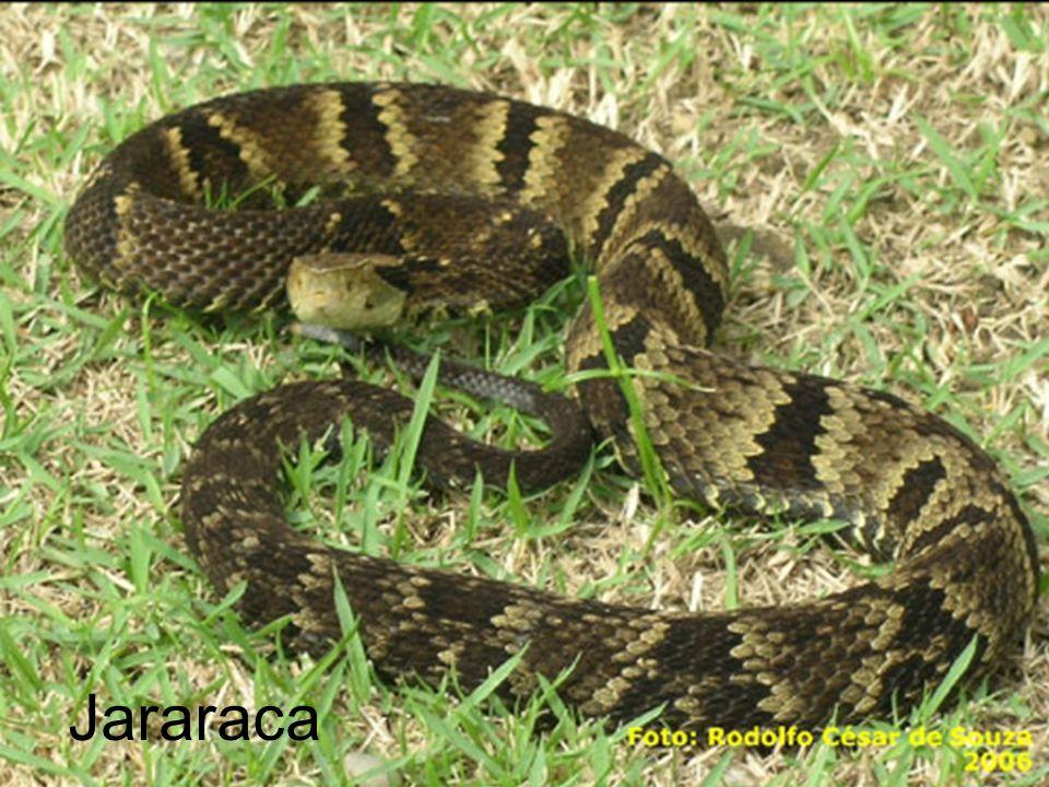 Jararaca