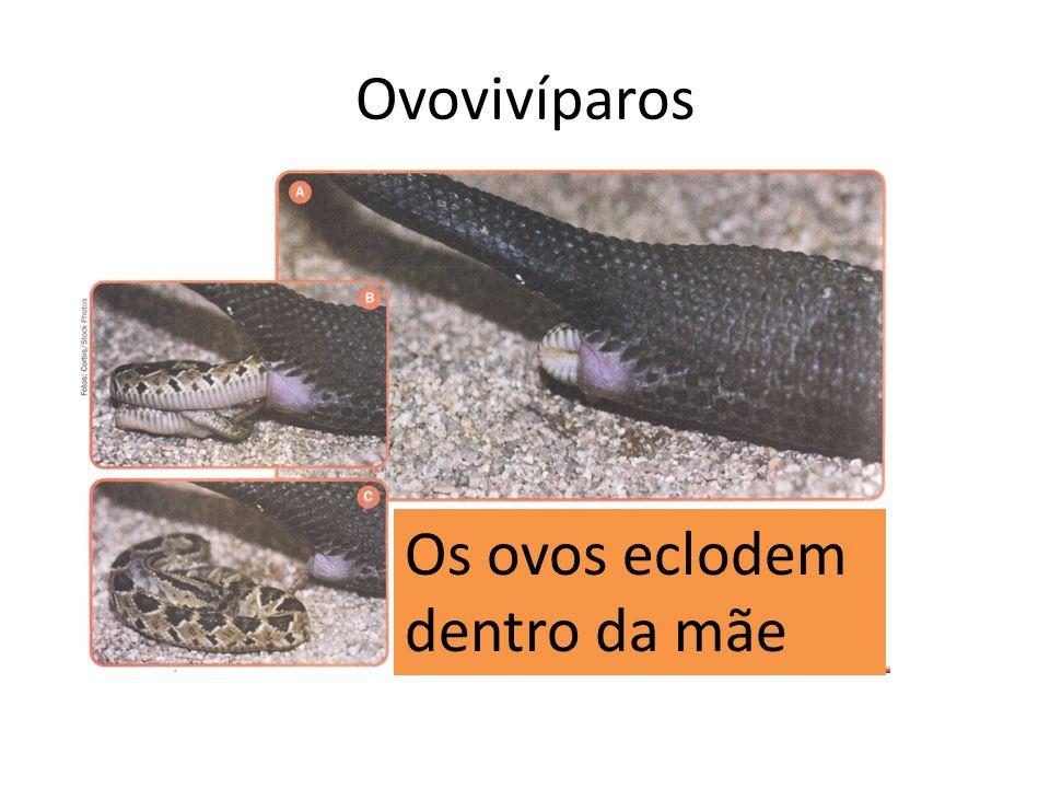 Os ovos eclodem dentro da mãe Ovovivíparos