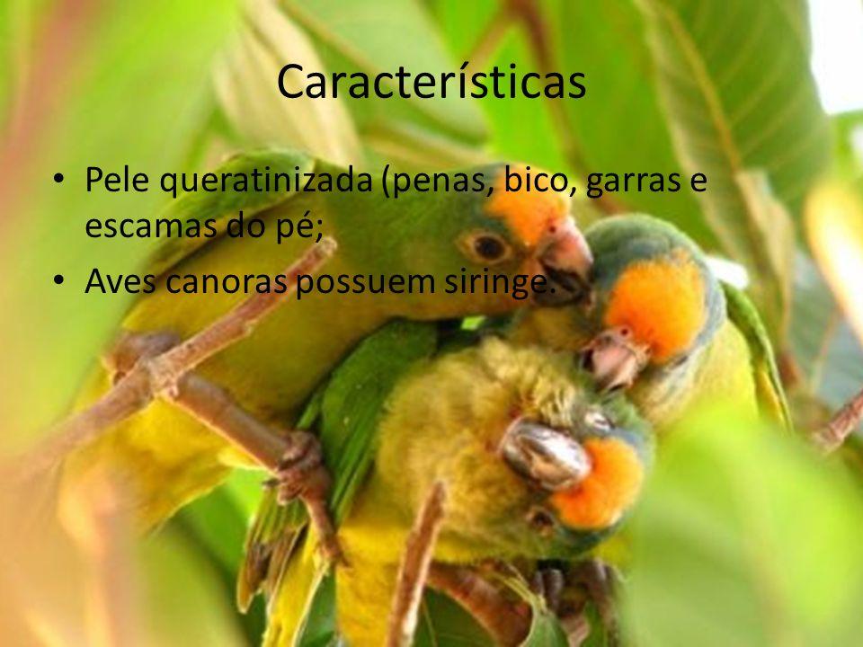 Características Pele queratinizada (penas, bico, garras e escamas do pé; Aves canoras possuem siringe.
