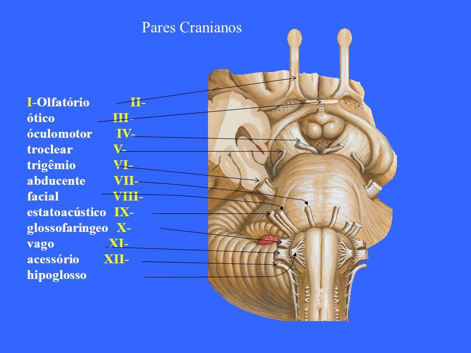 Pares Cranianos I-Olfatório II- ótico III- óculomotor IV- troclear V- trigêmio VI- abducente VII- facial VIII- estatoacústico IX- glossofaringeo X- va