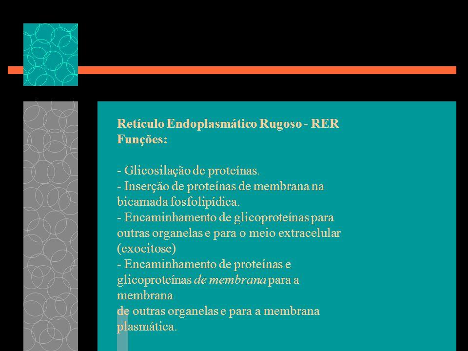 Retículo Endoplasmático Rugoso - RER Funções: - Glicosilação de proteínas. - Inserção de proteínas de membrana na bicamada fosfolipídica. - Encaminham