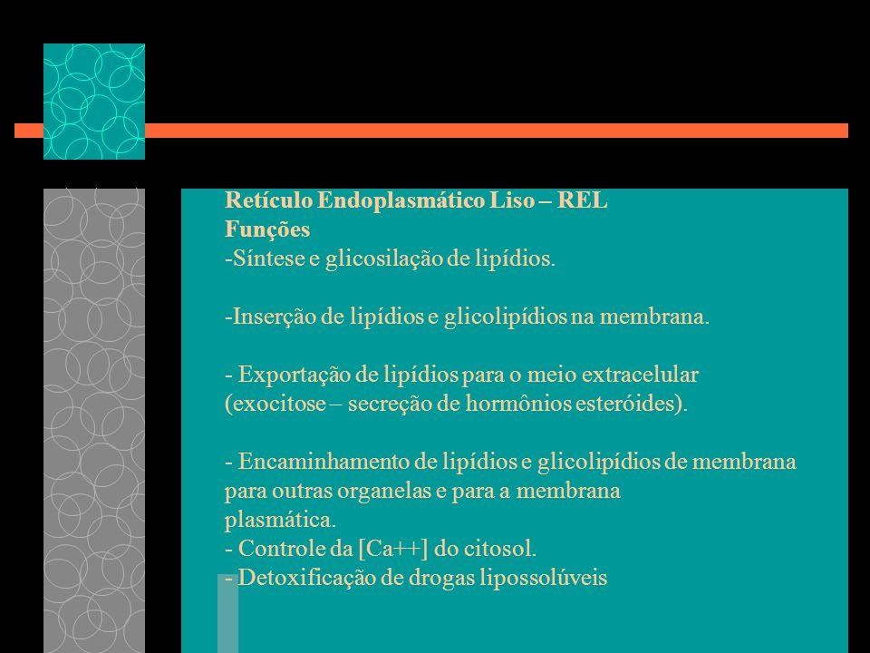 Retículo Endoplasmático Liso – REL Funções -Síntese e glicosilação de lipídios. -Inserção de lipídios e glicolipídios na membrana. - Exportação de lip