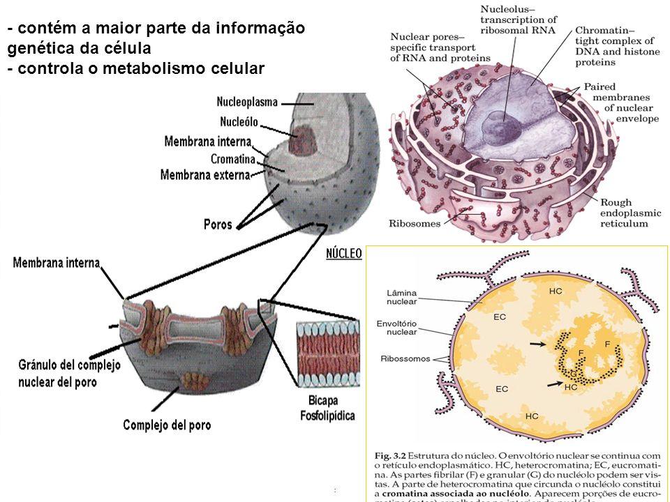 .. - contém a maior parte da informação genética da célula - controla o metabolismo celular
