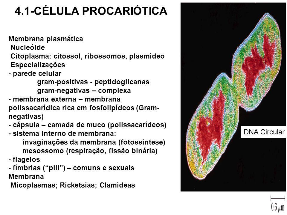 DNA Circular Membrana plasmática Nucleóide Citoplasma: citossol, ribossomos, plasmídeo Especializações - parede celular gram-positivas - peptidoglican