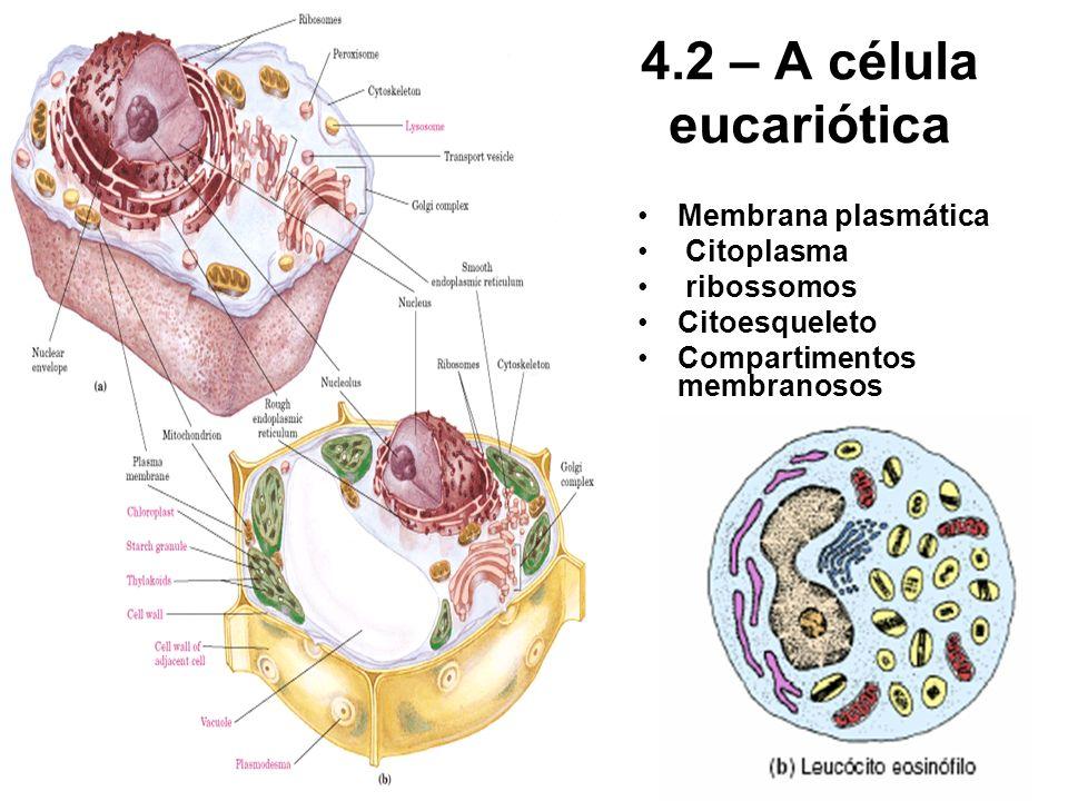 4.2 – A célula eucariótica Membrana plasmática Citoplasma ribossomos Citoesqueleto Compartimentos membranosos