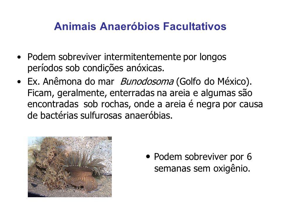 Animais Anaeróbios Facultativos Podem sobreviver intermitentemente por longos períodos sob condições anóxicas. Ex. Anêmona do mar Bunodosoma (Golfo do
