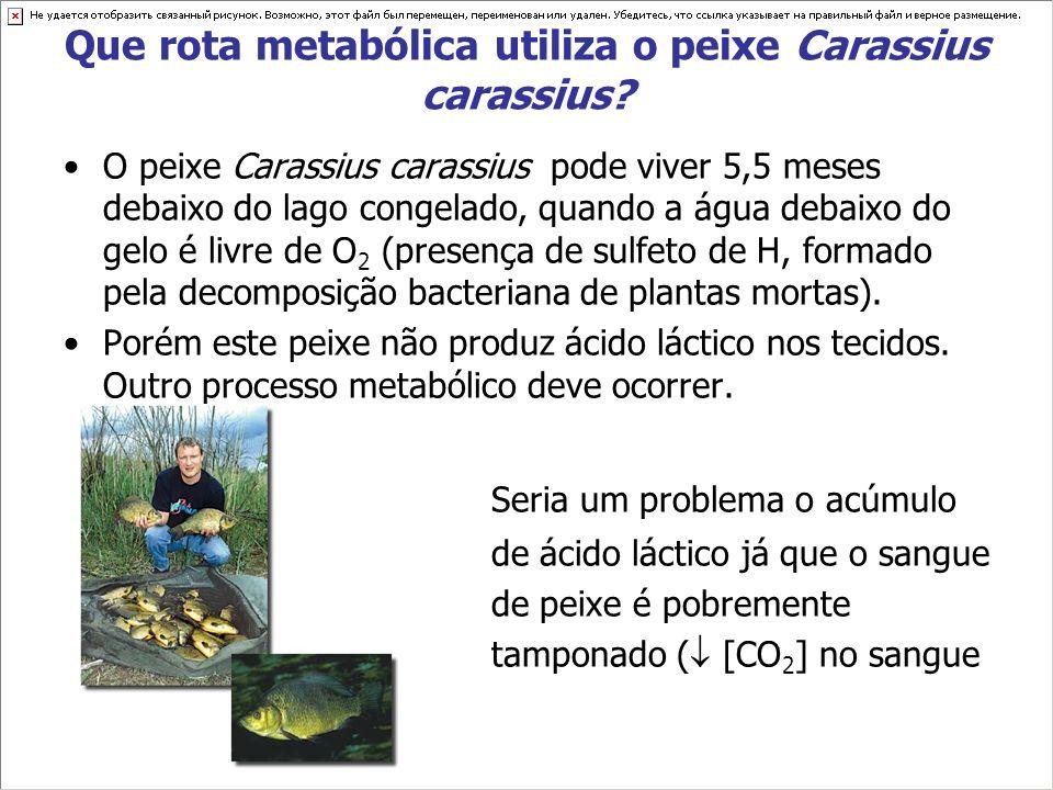 Que rota metabólica utiliza o peixe Carassius carassius? O peixe Carassius carassius pode viver 5,5 meses debaixo do lago congelado, quando a água deb