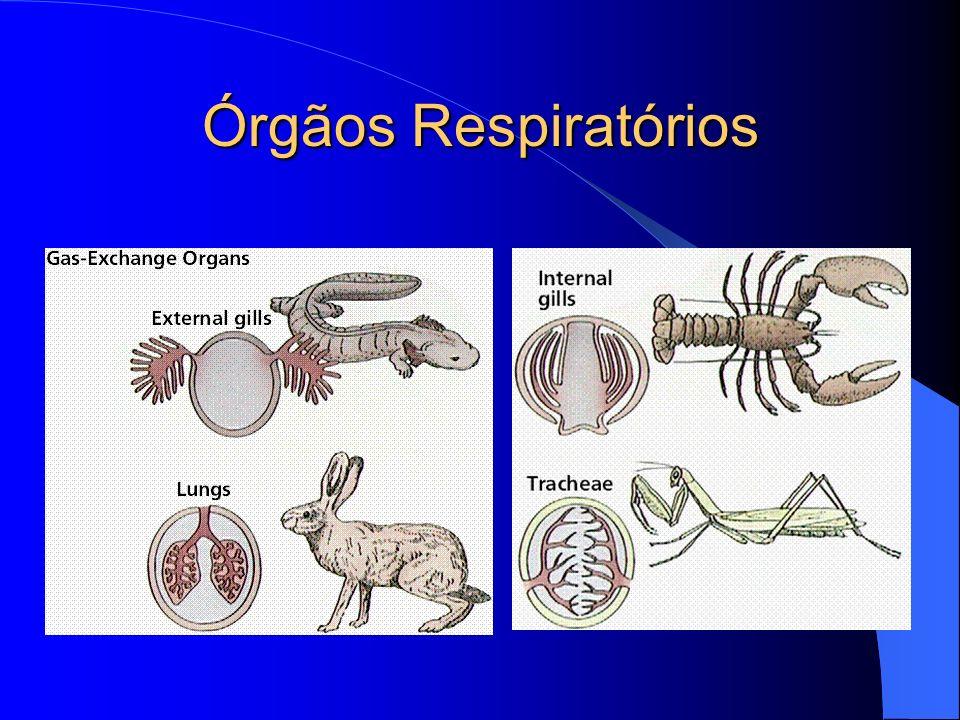 Órgãos Respiratórios