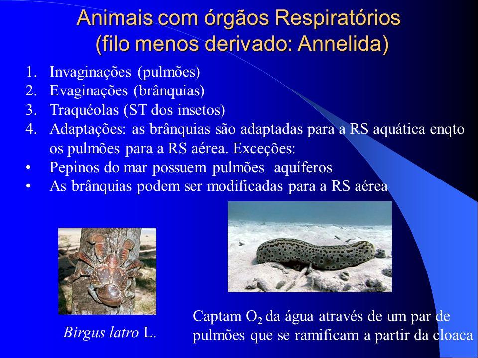 Animais com órgãos Respiratórios (filo menos derivado: Annelida) 1.Invaginações (pulmões) 2.Evaginações (brânquias) 3.Traquéolas (ST dos insetos) 4.Ad