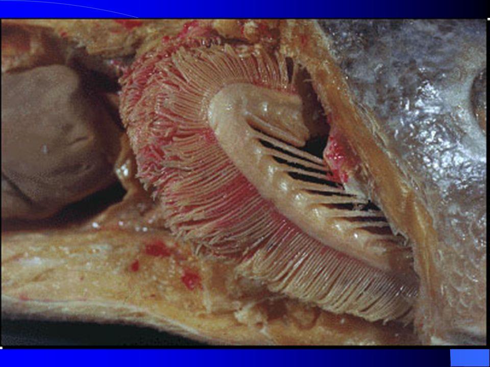 Fluxo de contra-corrente nas brânquias dos peixes