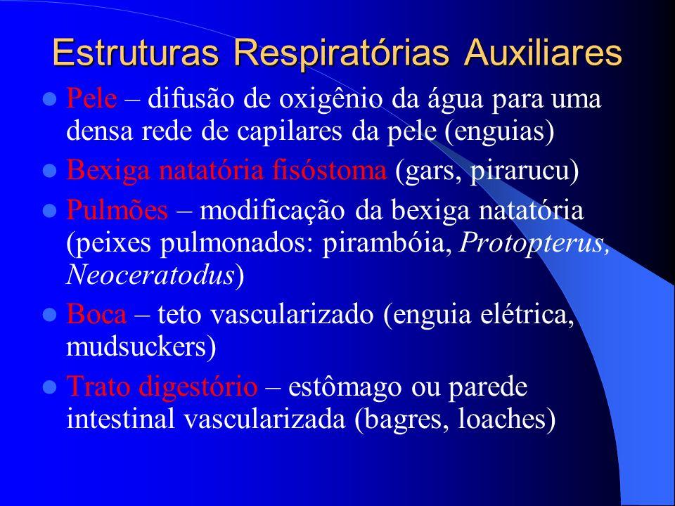 Estruturas Respiratórias Auxiliares Pele – difusão de oxigênio da água para uma densa rede de capilares da pele (enguias) Bexiga natatória fisóstoma (