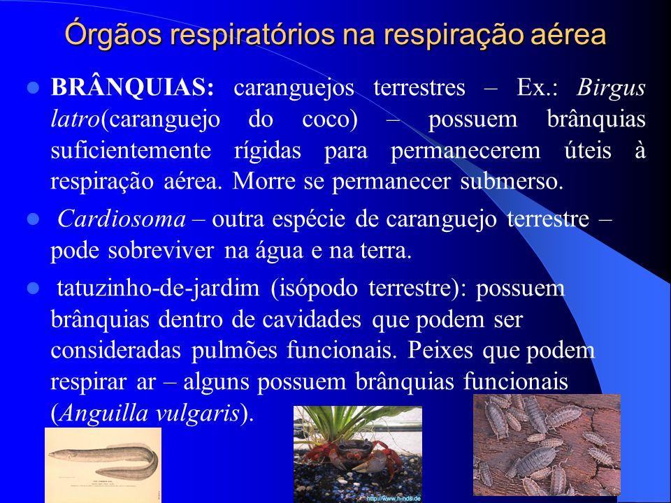 Órgãos respiratórios na respiração aérea BRÂNQUIAS: caranguejos terrestres – Ex.: Birgus latro(caranguejo do coco) – possuem brânquias suficientemente