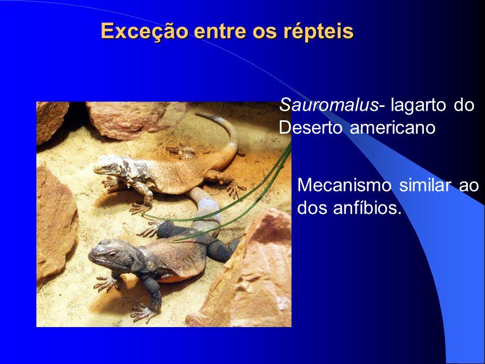 Exceção entre os répteis Mecanismo similar ao dos anfíbios. Sauromalus- lagarto do Deserto americano