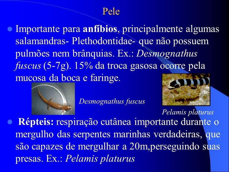 Pele Importante para anfíbios, principalmente algumas salamandras- Plethodontidae- que não possuem pulmões nem brânquias. Ex.: Desmognathus fuscus (5-