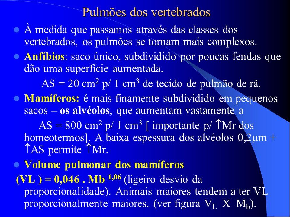 Pulmões dos vertebrados À medida que passamos através das classes dos vertebrados, os pulmões se tornam mais complexos. Anfíbios: saco único, subdivid