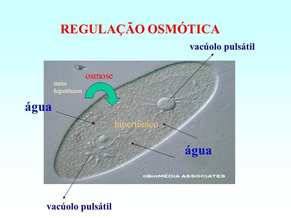 REGULAÇÃO OSMÓTICA meio hipotônico hipertônico água vacúolo pulsátil água osmose