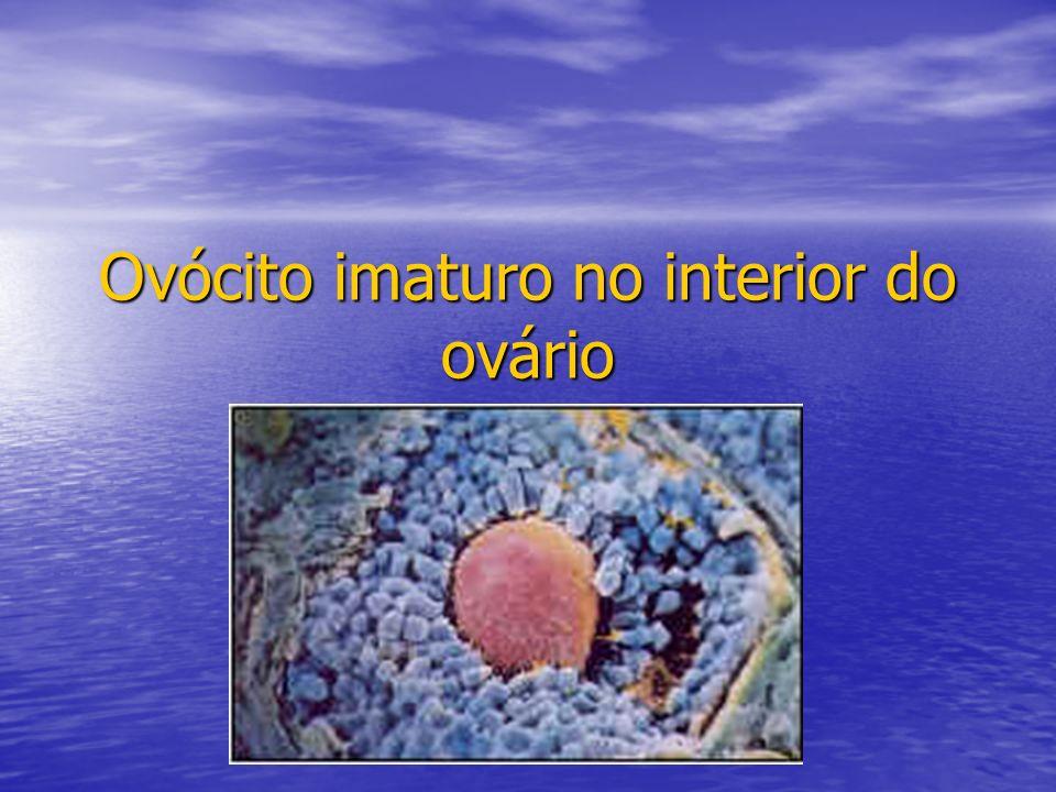Ovócito imaturo no interior do ovário