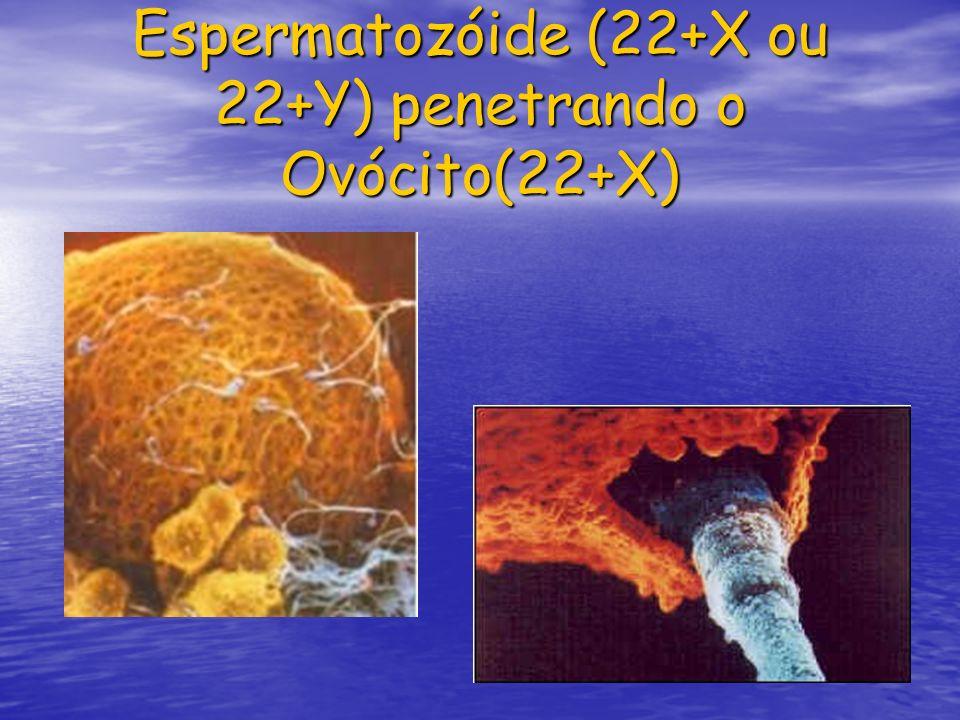 Espermatozóide (22+X ou 22+Y) penetrando o Ovócito(22+X)